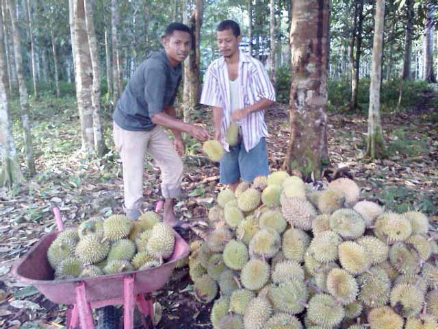 Potensi durian Fakfak yang melimpah. Apalagi saat panen raya